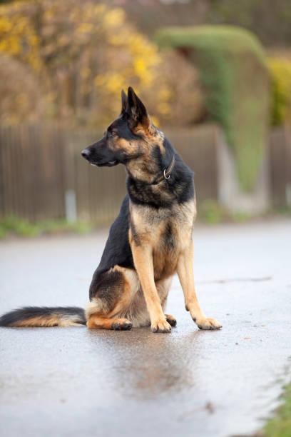 Hund Deutscher Schäferhund sitzt vor einem Zaun stock photo