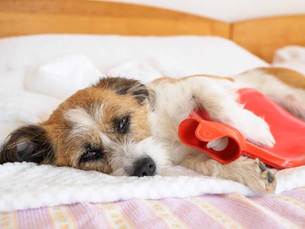 Hund mit Wärmflasche im Arm Hund, Haustier, Tier, Wärmflasche, Bett, Decke, Krankheit hot water bottle stock pictures, royalty-free photos & images