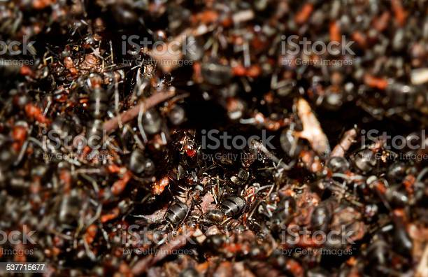 Hundreds of European red wood ants (Formica polyctena) crawling on an anthill in the first sun of early spring.