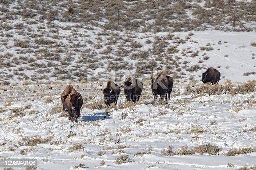 Herd of buffalo moving east to better food but they will dig through deep snow to get to it.