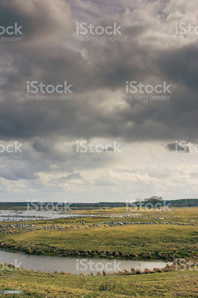Hundreds of cranes on a field in Sweden stock photo