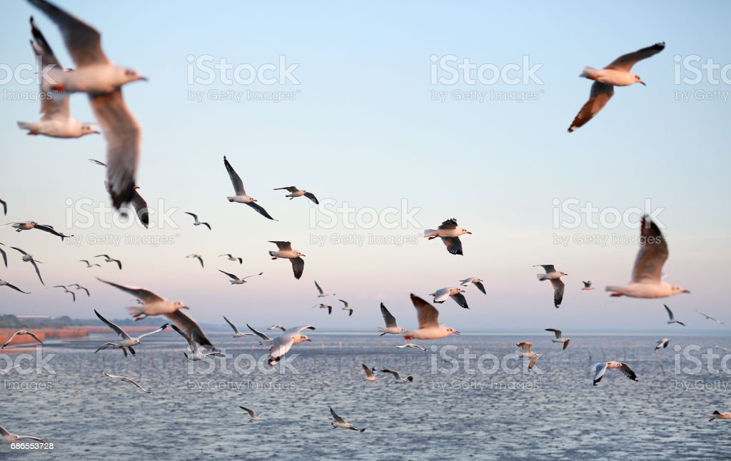 Hundreds of seagulls flying in the sky at sunset. foto stock royalty-free