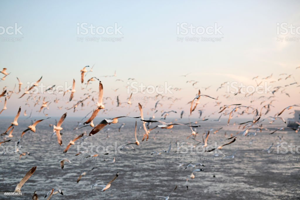 Hundreds of seagulls flying in the sky at sunset. royalty-free stock photo