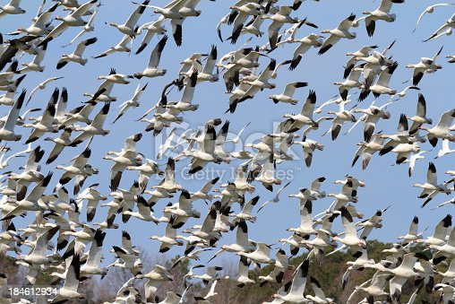 A large flock of Snow Geese (Chen caerulescens) take flight after being startled by a bald eagle flying over their roosting grounds.