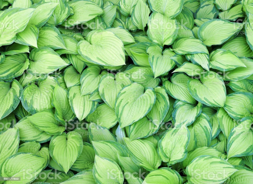 Hundreds of striped  yellow and green leaves as natural  nature background stock photo
