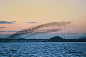 Hundreds of thousands Baikal Teal crowd birds flying in the evening sky
