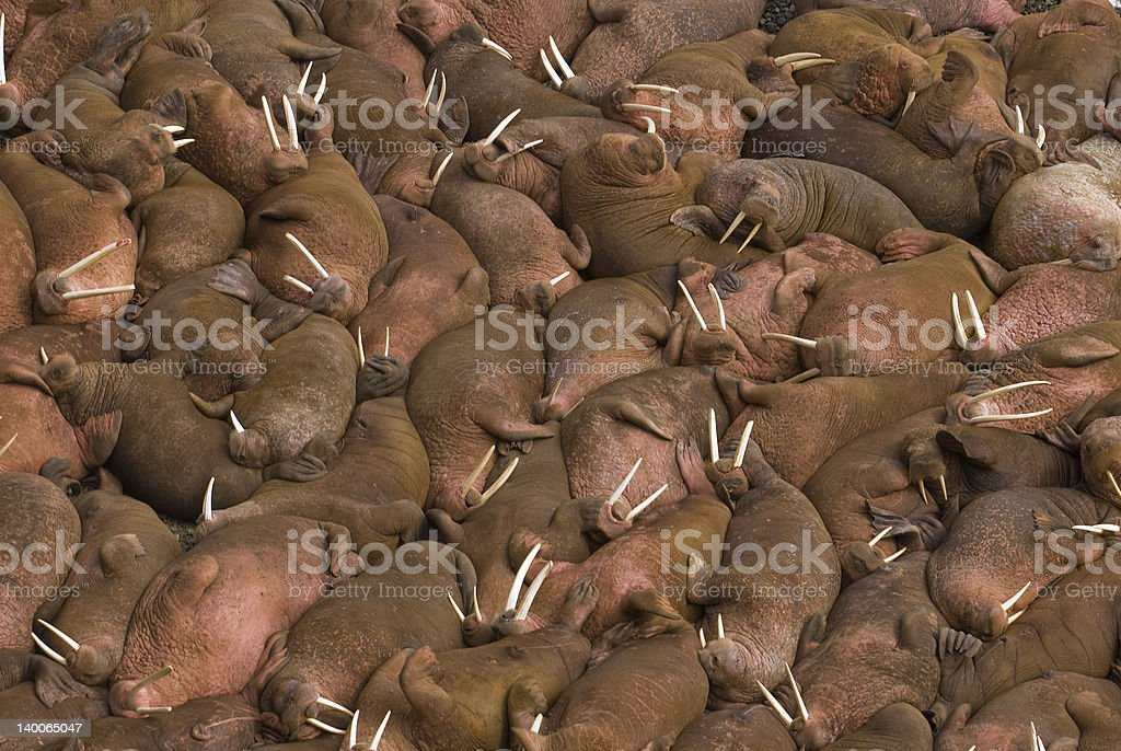 Hundreds of walruses on the beach at Round Island, Alaska. stock photo