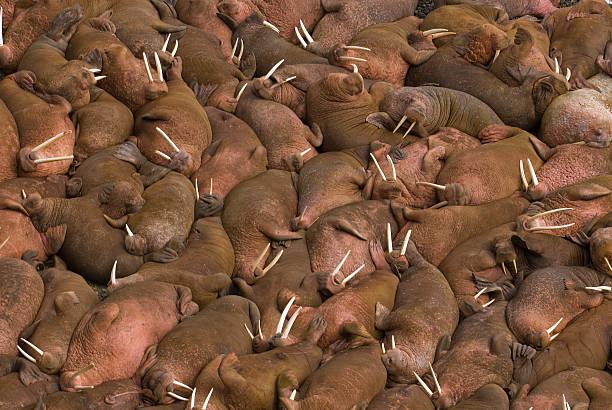 Des centaines d'otaries sur la plage à Long Island, dans l'État de l'Alaska. - Photo
