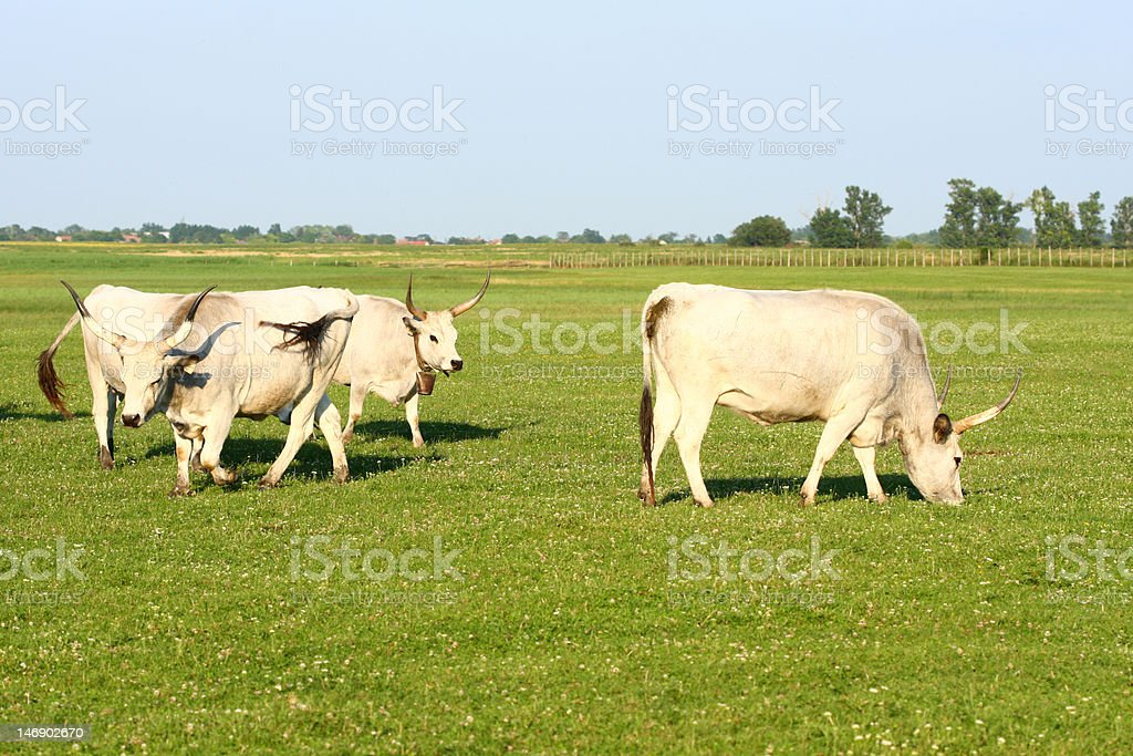 hungarian gray cattle stock photo