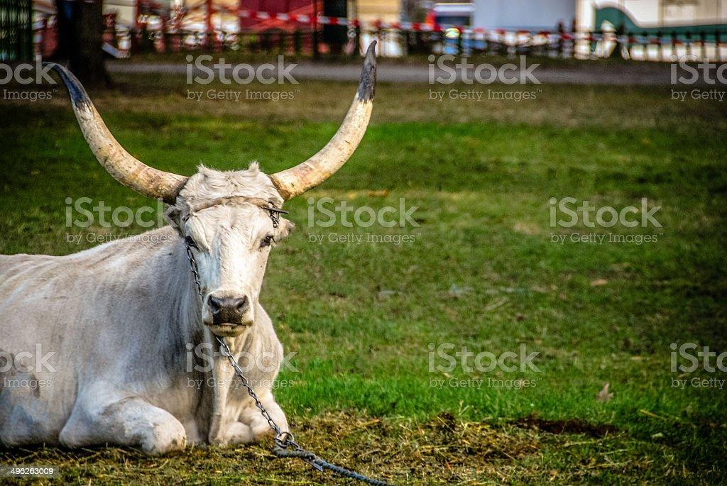 Hungarian Gray Cow stock photo