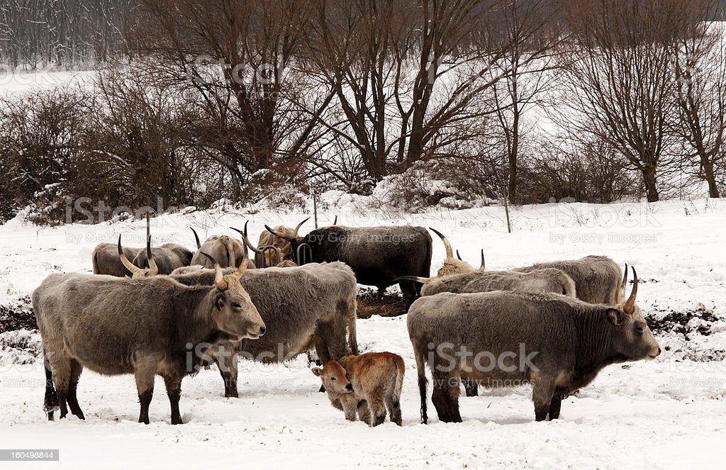 Hungarian grays in winter,Hungary royalty-free stock photo