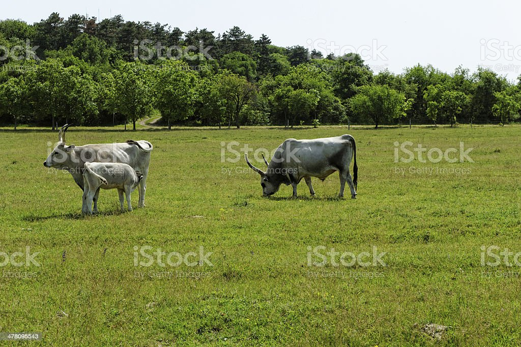 Hungarian grey cattle royalty-free stock photo
