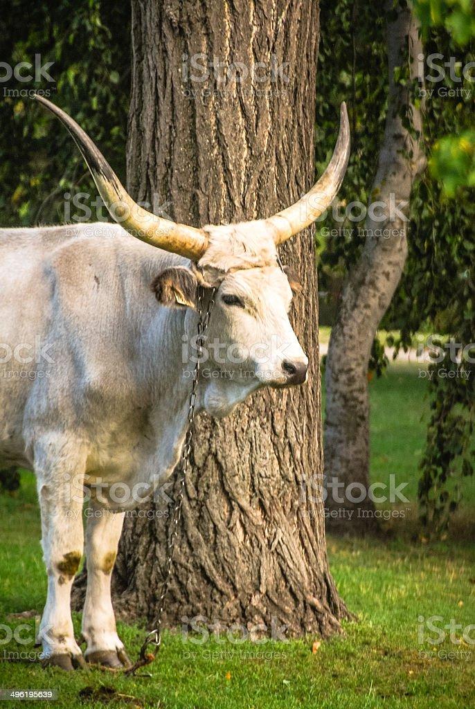 Hungarian Grey Cow stock photo