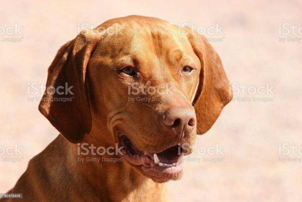 Hungarian hound closeup royalty-free stock photo