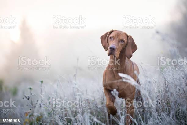 Hungarian hound dog in freezy winter time picture id875654818?b=1&k=6&m=875654818&s=612x612&h=uxfu8087hgdtmsejkzz1s voj4dtn wqy0rdevkp67w=