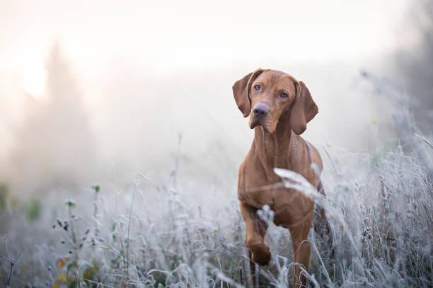 Perro Lebrel Húngaro en época de invierno freezy - foto de stock