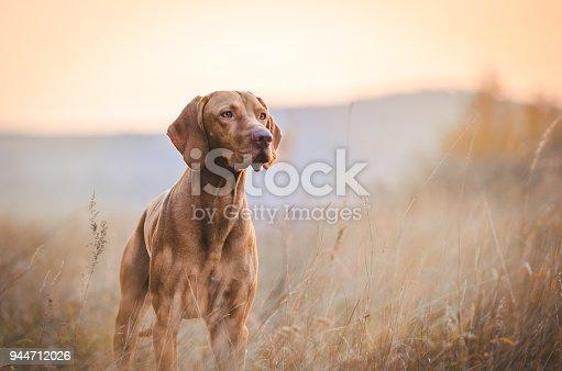 Hungarian hound pointer vizsla dog in autumn in the field
