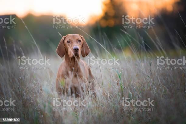 Hungarian hunter dog in autumn time picture id875654800?b=1&k=6&m=875654800&s=612x612&h=whe o6kgbvuwtgnewwuvwc xz5rozdafl8vjkz76ih0=