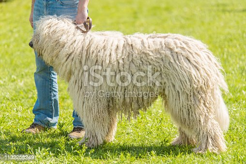 Hungarian Komondor dog with owner in the park