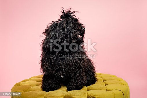 Studio portrait of a young dark coloured Hungarian Komondor sheepdog who is sitting proudly on a gold coloured pouffe against a pale pink background. Colour horizontal with some copy space.