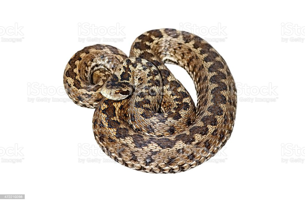 hungarian meadow viper over white stock photo