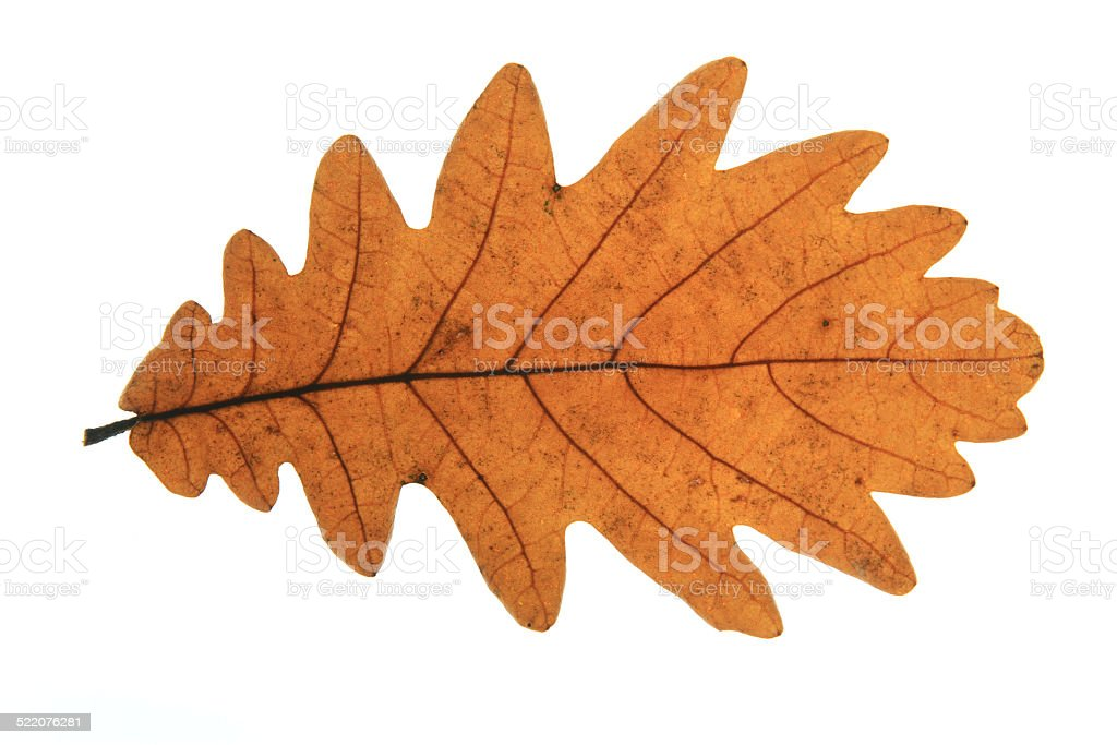 Hungarian oak (Quercus frainetto) stock photo