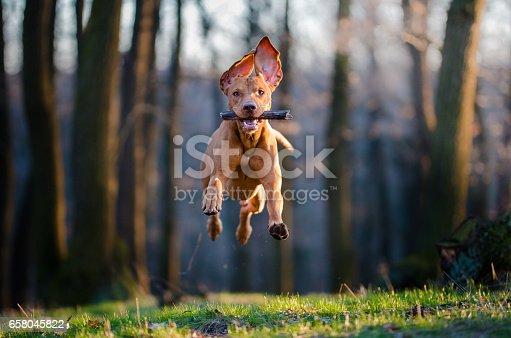 istock Hungarian pointer hound dog 658045822