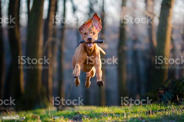 Hungarian pointer hound dog picture id658045822?b=1&k=6&m=658045822&s=612x612&h=whr0jslolxjy0roq74zzzape1abgqy9gvixbb05tzz0=