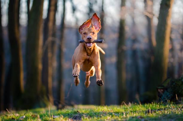 Hungarian pointer hound dog picture id658045822?b=1&k=6&m=658045822&s=612x612&w=0&h=yvw9aenr10du9zffrv8a4krdnvojyez dvozr6de1am=
