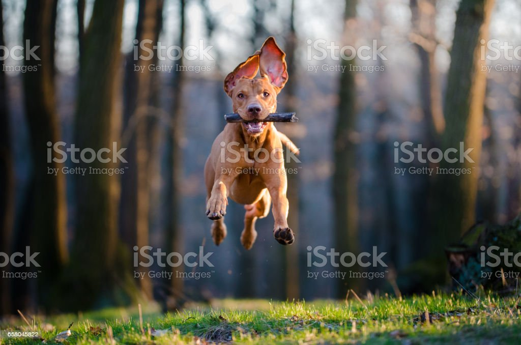 Hungarian pointer hound dog stock photo