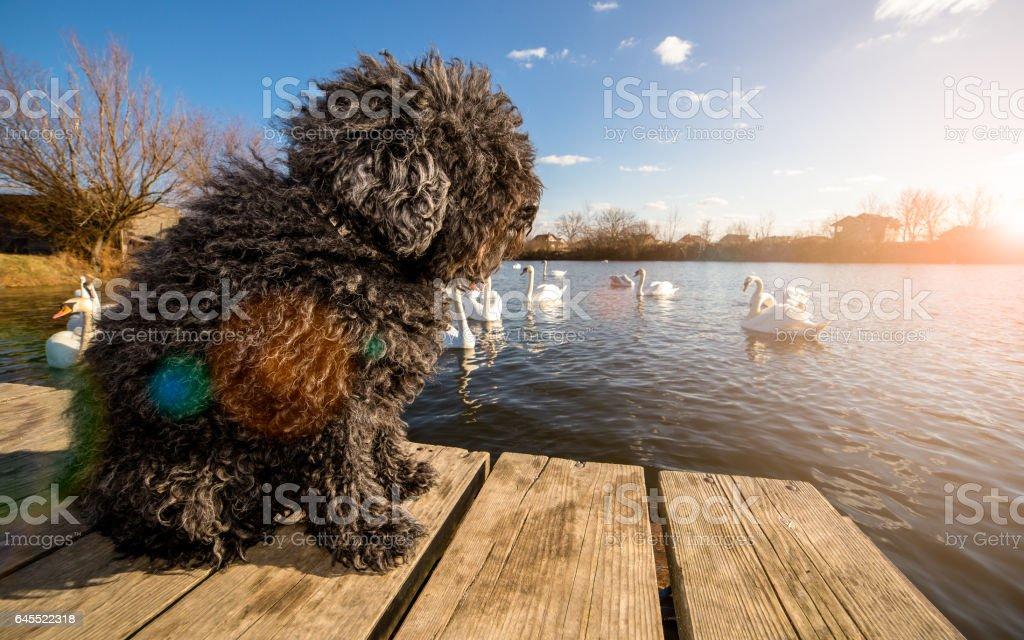 Hungarian Puli dog on the dock stock photo
