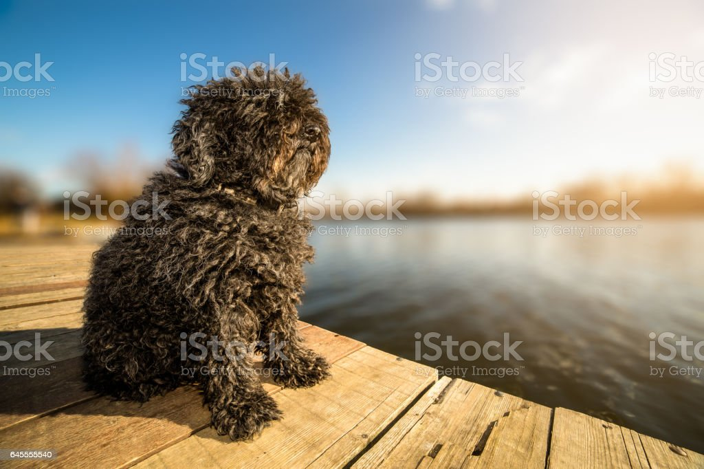 Hungarian Puli dog sitting on the dock stock photo