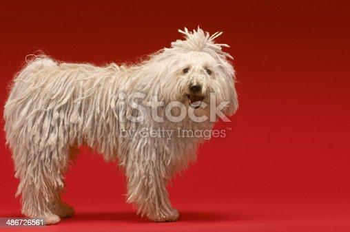 Full length portrait of Hungarian shepherd dog on red background