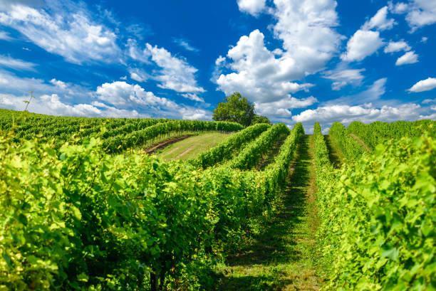 Hungarian vineyards in the summer season Vineyard landscape with beautiful clouds and blue sky in summer. Cloud, background. Beautiful vineyard, Pannonhalma Wine Region in Hungary. marne stock pictures, royalty-free photos & images