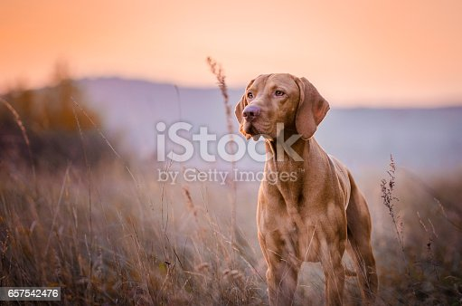 photo of cute Hungarian vizsla dog head portrait