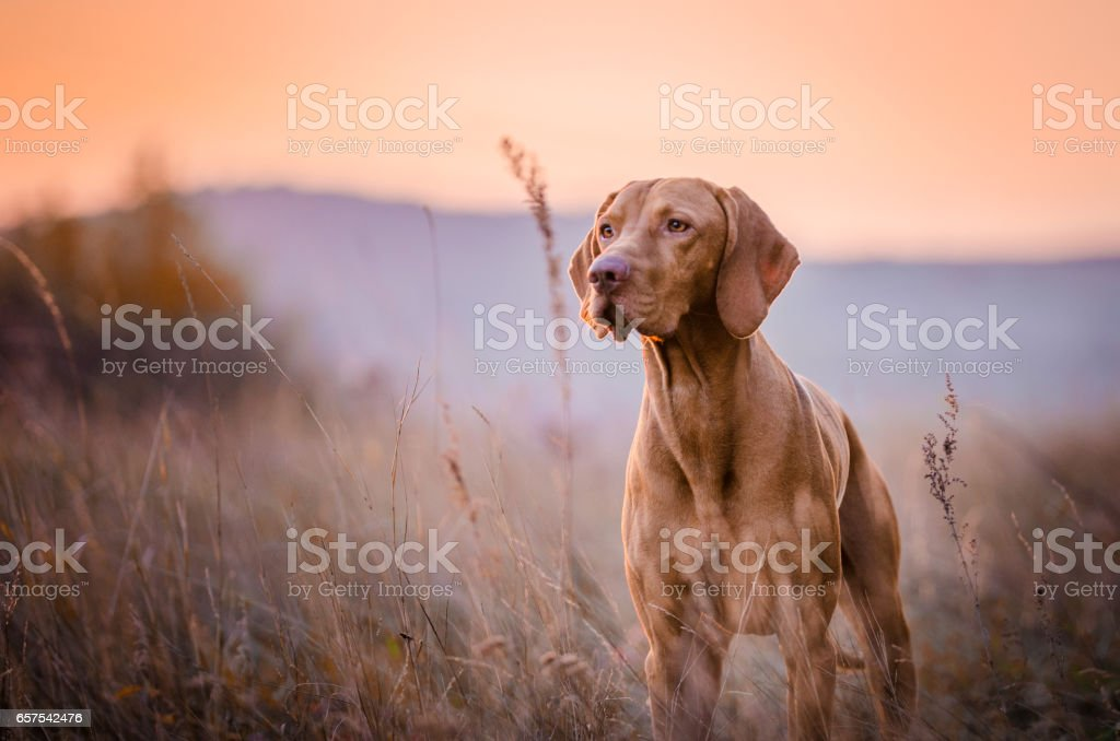 Hungarian vizsla head portrait stock photo