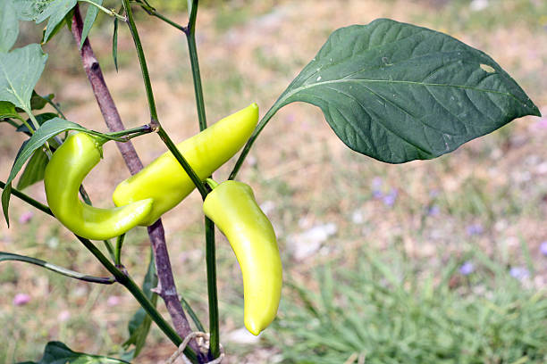 Hungarian Yellow Hot Wax Pepper plant stock photo