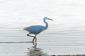 White egret dragging foot across pond surface and stalking across estuary water in search of a morning meal.