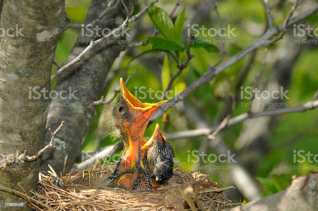 Hungry Baby Robins in Nest royalty-free stock photo