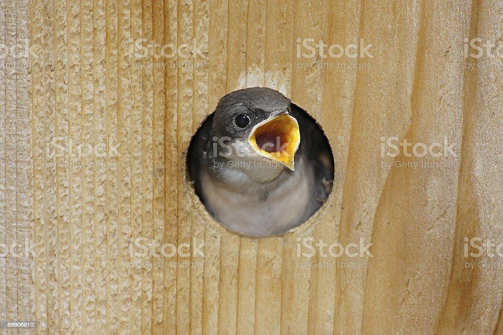 Hungry Baby Tree Swallow (tachycineta bicolor) royalty-free stock photo