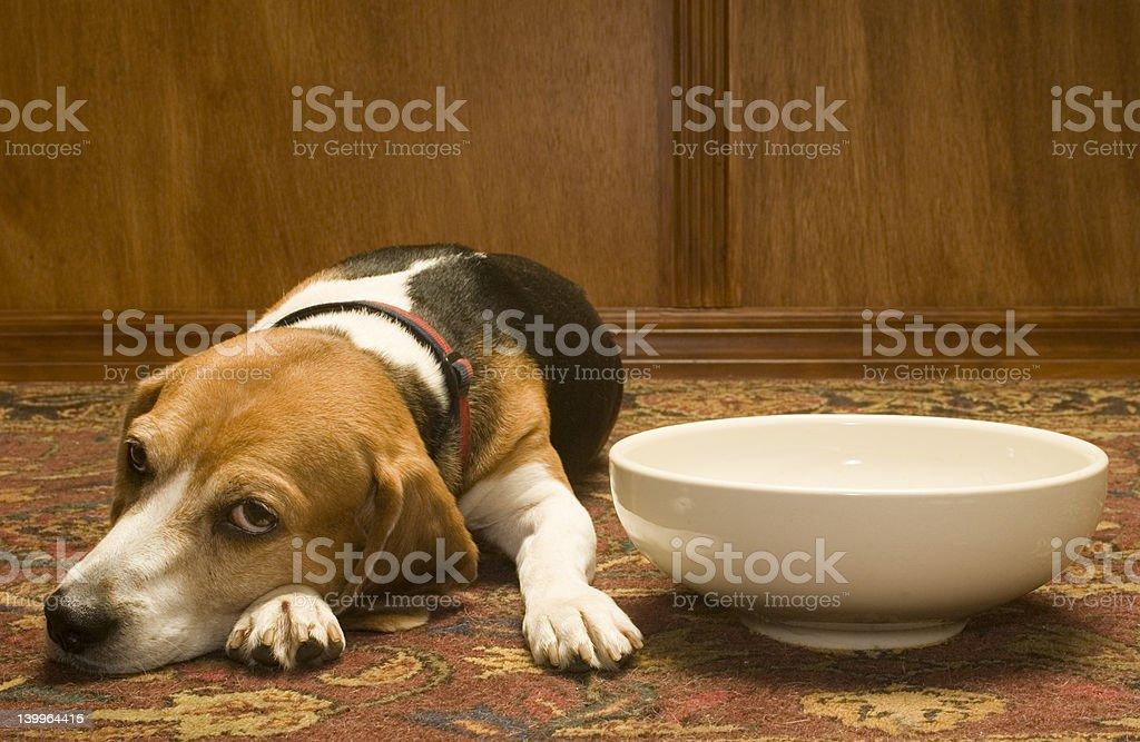 Hungry Beagle #1 royalty-free stock photo