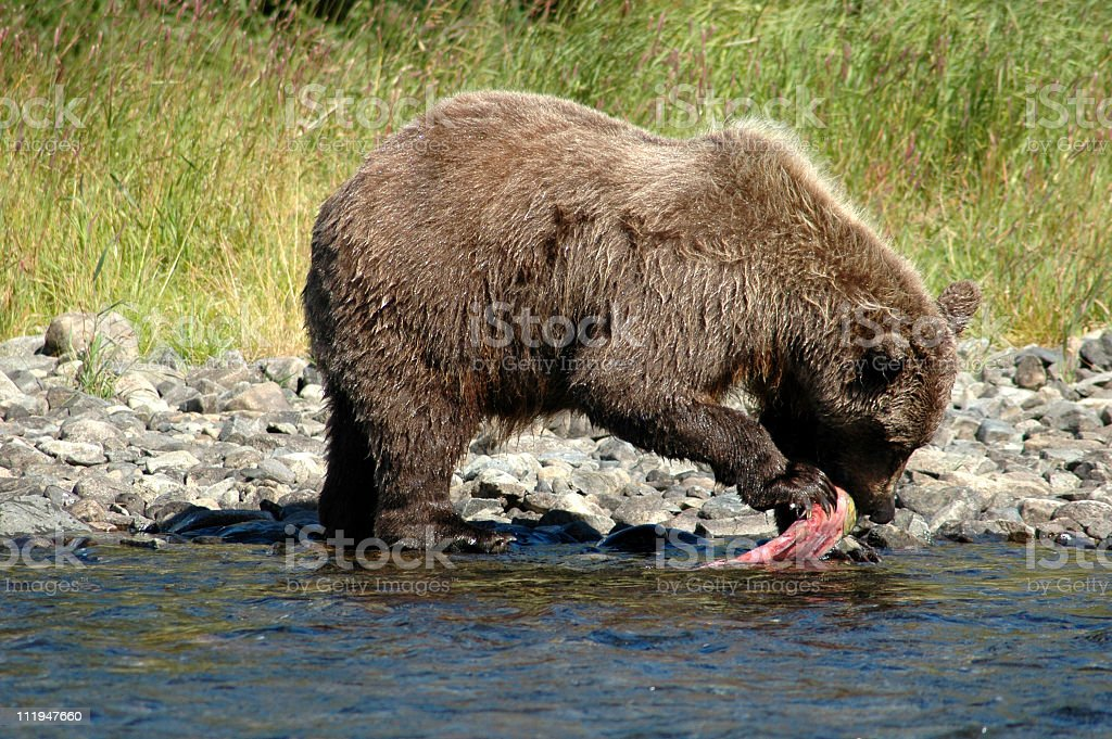 Hungry bear eating sockeye salmon, Katmai National Park,Alaska royalty-free stock photo