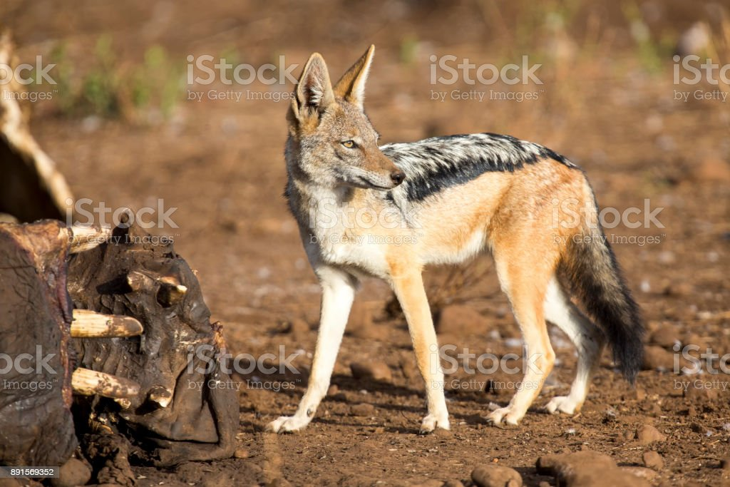 Hungry Black backed jackal looking for food at a hippo carcass stock photo