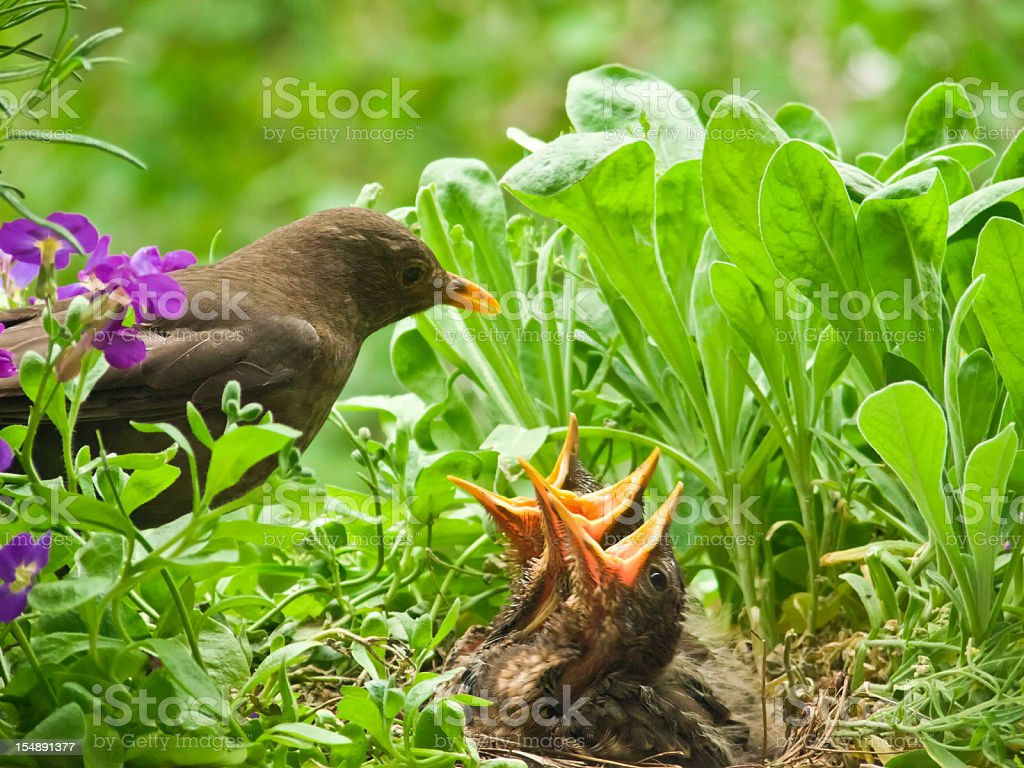 hungry blackbird babys - 10 days old stock photo