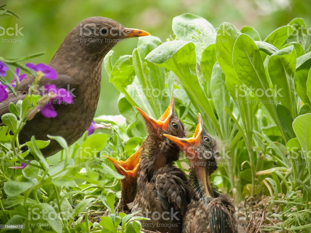 hungry blackbird babys - 10 days old royalty-free stock photo