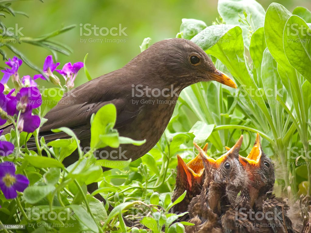 hungry blackbird babys - 7 days old stock photo