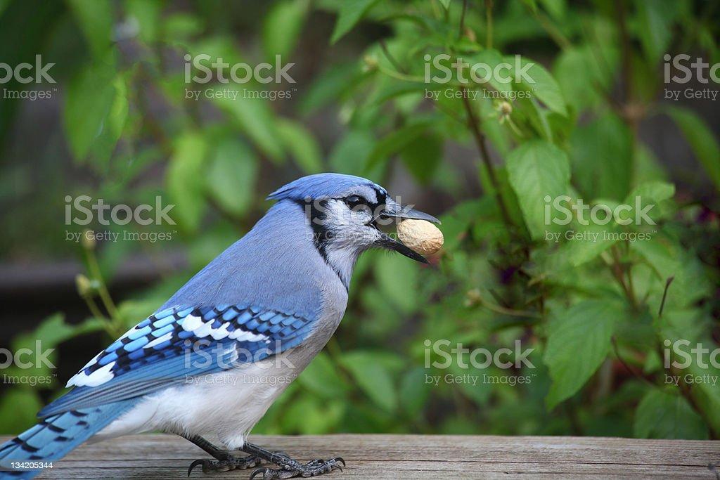 hungry blue jay royalty-free stock photo
