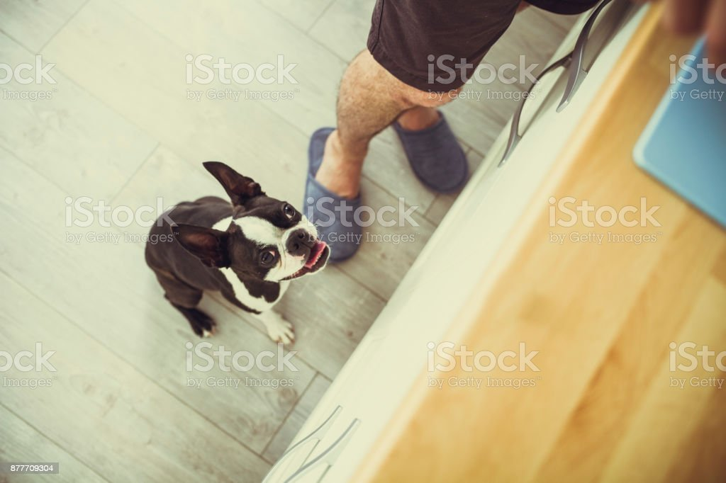 Hungry boston terrier stock photo