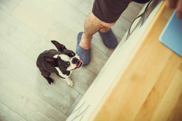 Hungry boston terrier Hungry and curious boston terrier pleading stock pictures, royalty-free photos & images
