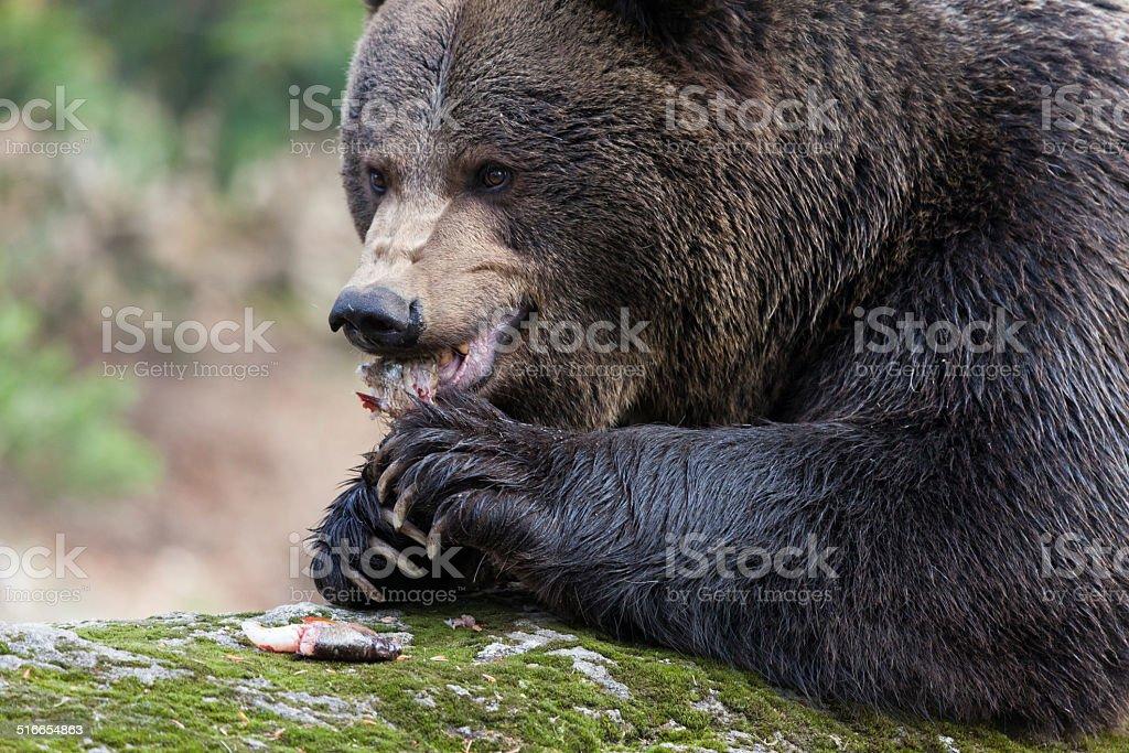 hungry Braun Bear stock photo